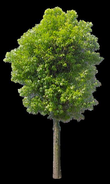 2t26_シラカシ_Bamboo-leafed-oak.png