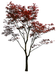 T1_084_モミジ_Japanese-maple.png