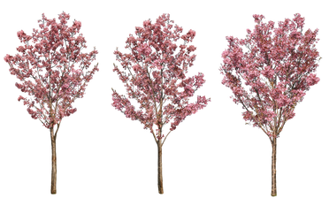 sa012サクラ陽光_Japanese-cherry.png