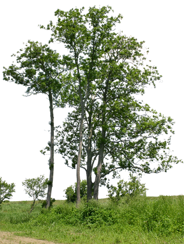 T1_068_アキニレ_Ulmus-parvifolia.png