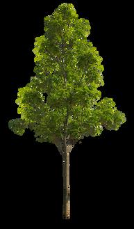 2t24_シラカシ_Bamboo-leafed-oak.png