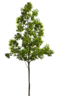 2t24_シラカシ_Bamboo-leafed-oak.png