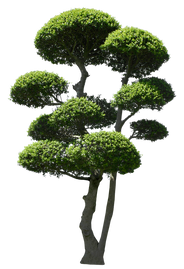 T1_089_ツゲ_Japanese-Holly.png