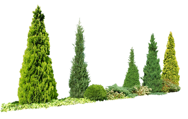 T1_091_コニファー_Conifer.png