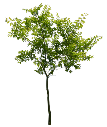 T1_072_マユミ_Spindle-tree.png