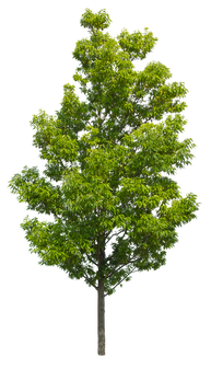 2t25_シラカシ_Bamboo-leafed-oak.png