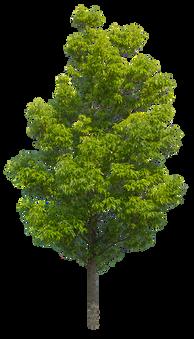 2t25_シラカシ_Bamboo-leafed-oak.png