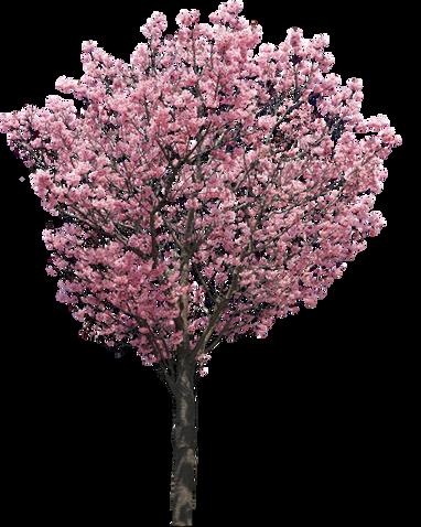 陽光桜(濃いピンク色の桜)Cherry Blossoms