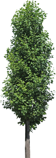 3t_05ユリノキ_Liriodendron.png