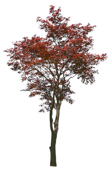 T1_085_モミジ_Japanese-maple.png