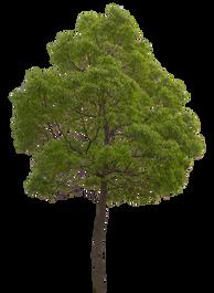 2t44_クスノキ_Camphor-tree.png