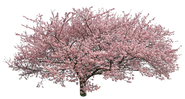 sa166カワヅザクラ_Japanese-cherry.png
