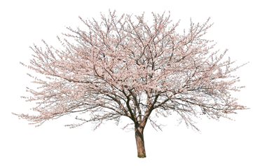 sa056ソメイヨシノ_Japanese-cherry.png