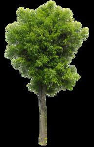 2t27_シラカシ_Bamboo-leafed-oak.png