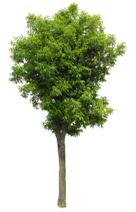 2t27_シラカシ_Bamboo-leafed-oak.png