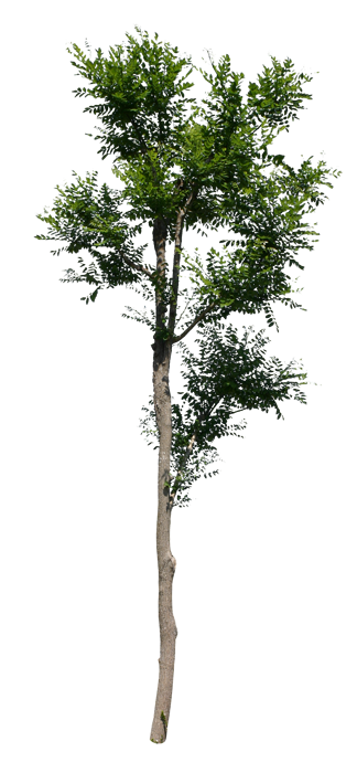 T1_075_エンシュ_Chinese-scholar tree.png