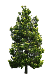 T1_087_ヒバ_Conifer.png