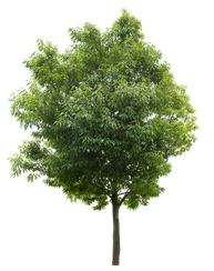 2t28_シラカシ_Bamboo-leafed-oak.png