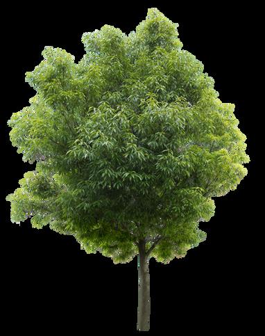 2t28_シラカシ_Bamboo-leafed-oak.png