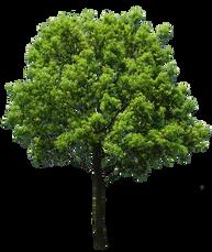 T1_008_クスノキ_Camphor-tree.png