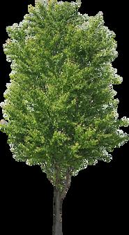 3t_16カツラ_Katsura-tree.png