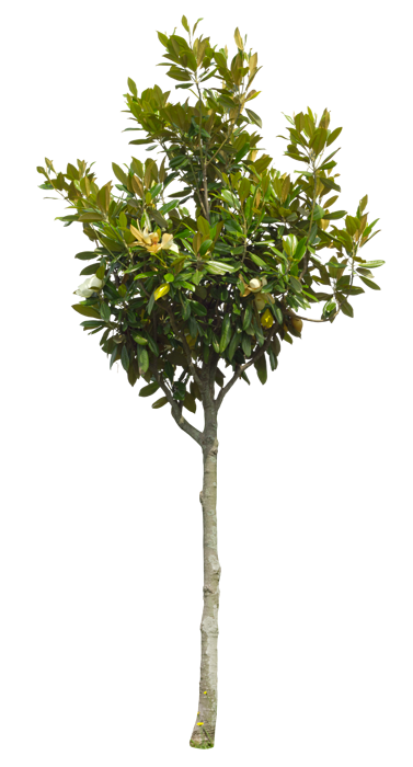 2t07_タイサンボク_Southern-magnolia-.png