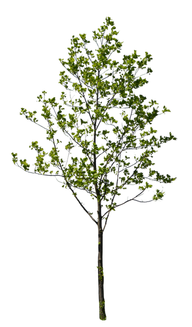 T1_034_ユリノキ_Liriodendron.png
