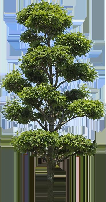 3t_04シラカシ_Bamboo-leafed-oak.png