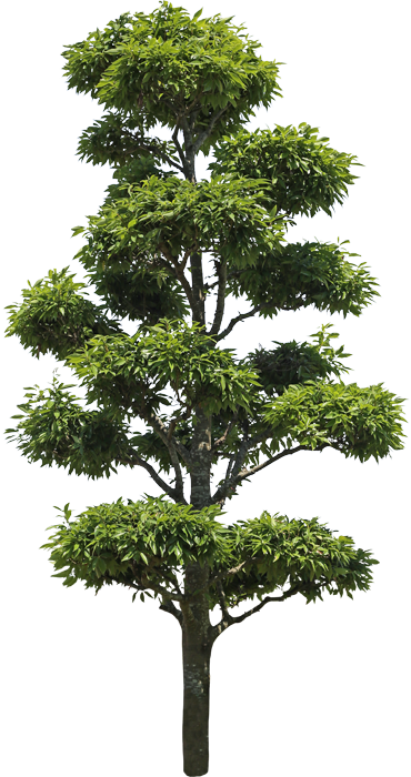 3t_04シラカシ_Bamboo-leafed-oak.png