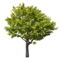 2t45_クロガネモチ_Round-leaf-holly.png