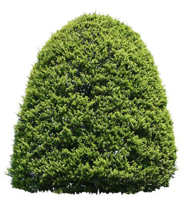 T1_082_ツゲ_Japanese-Holly.png