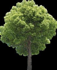 3t_17クスノキ_Camphor-tree .png