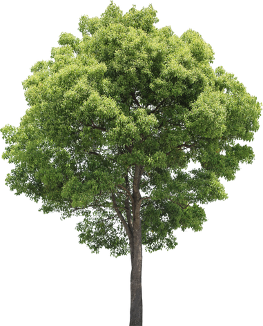 3t_17クスノキ_Camphor-tree .png