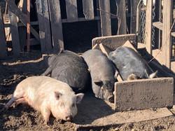 Sunbathing Piggies
