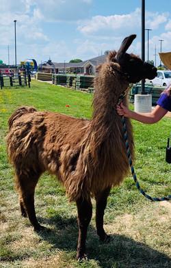 Herman the Llama