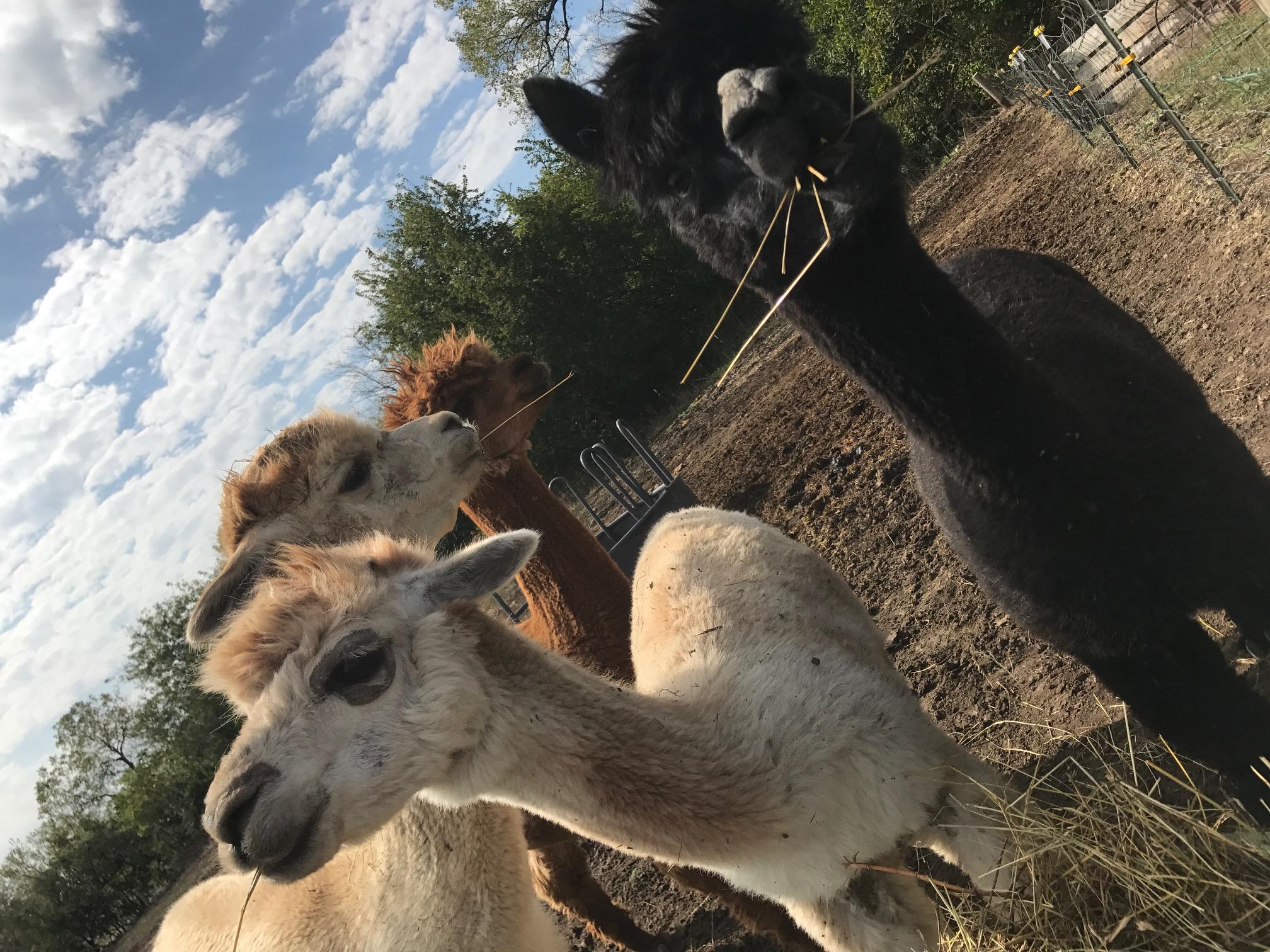 The alpaca ladies