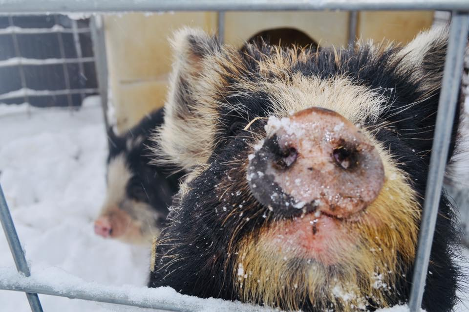 Piper the Kune Kune Pig