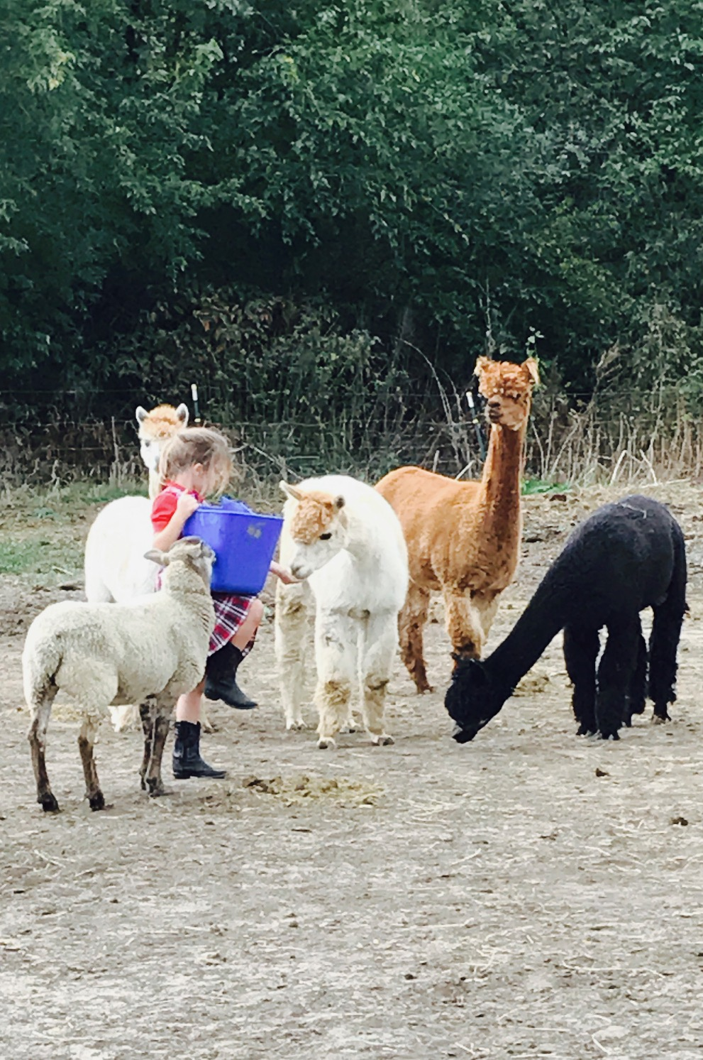 Alpaca Ladies...and Ernest