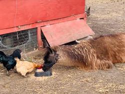 Is it a chicken or a llama?