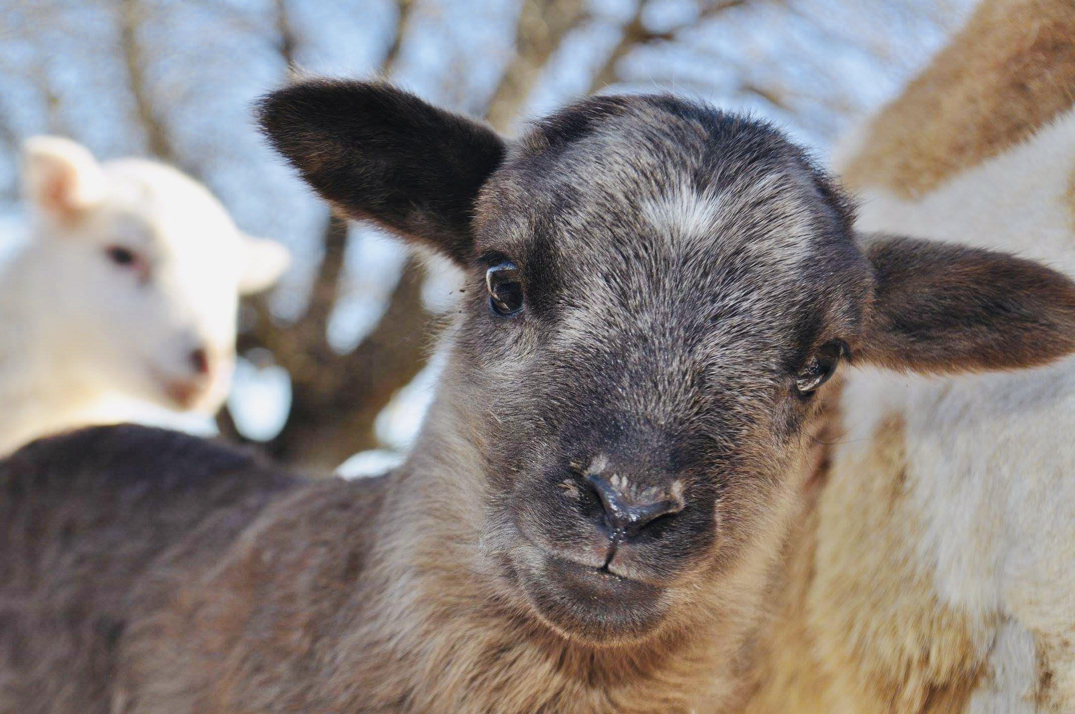 2019 Lamb