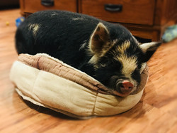Piper the Pig