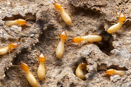 Group of the small termite on decaying t