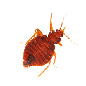 bed_bug_PNG26.png