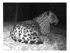 Jaguar macho