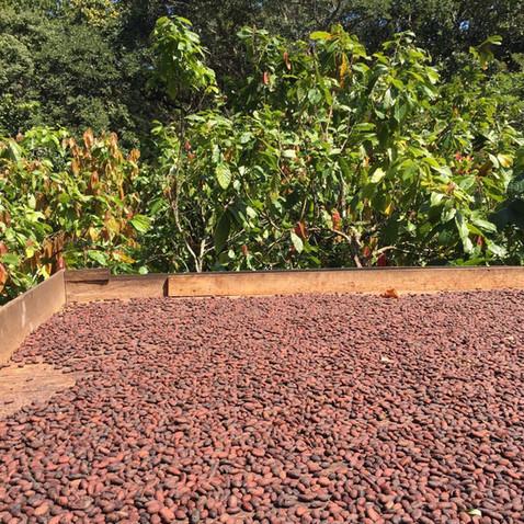Tour del cacao a 5 minutos de la Reserva Caoba