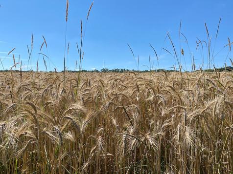Weizen Kopie.jpg