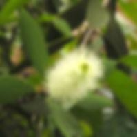 Huiile-essentielle-de-Niaouli-Origines1-