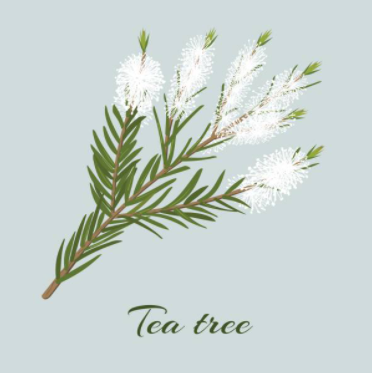 Le tea tree contre les microbes
