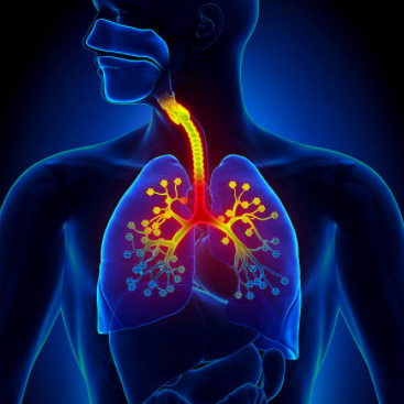 L'huile essentielle de romarin à verbénone contre la bronchite