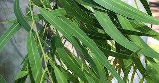 Feuilles d'eucalyptus citronné